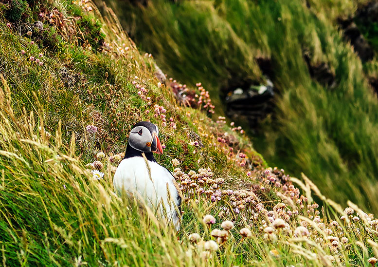 Shetland is one of the few places where you'll get this close to a puffin